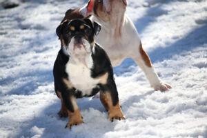 chiot bulldog anglais english bulldog puppies