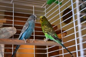 Two young budgie male and female for sale