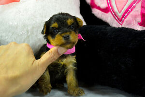 Healthy Beautiful Yorkshire Terrier puppies Champion sire