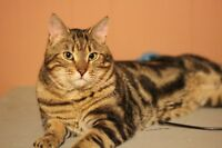 Male Marble Bengal Cat