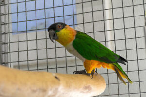 Selling 3 Pairs of Black headed Caiques