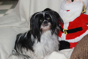 A Shihtzu dog For rehoming