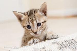 Savannah Kittens for sale- toronto- Bengal lovers stop here.