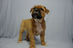 Olde English Bulldogge Puppies**SERIOUS INQUIRIES ONLY**