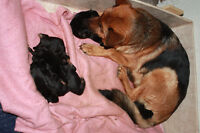 German Shepherd Pups CKC Registered