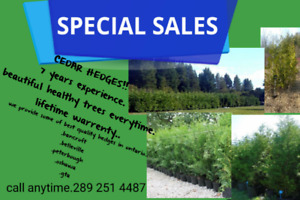 Cedar trees for hedging