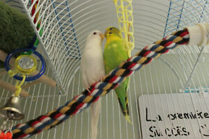 Two Budgie Birds For Sale