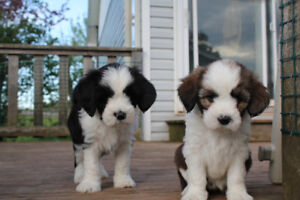 LOVABLE/SWEET NATURED Tibetan Terrier puppies to approved homes