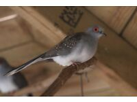 Young Diamond doves for sale
