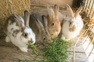 beautiful, gentle rabbits for sale