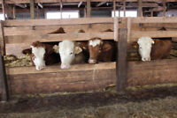 4 beef bred heifers for sale