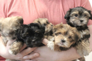 Absolutely Stunning Morshi Puppies Ready For Their New Families!
