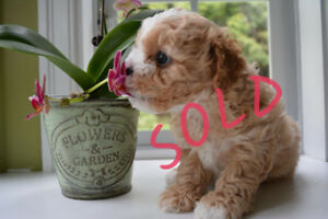 Maltipoo puppies  small Maltese+Poodle dogs