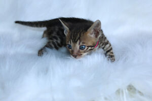 "Bengal cat, kitten for sale,  "" sunkist "" female"