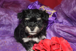 LITTLE BABY GIRL HAVANESE PUPPY
