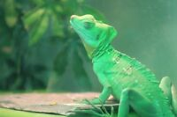 Juvenile green basilisk for sale