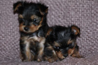 Purebred Yorkshire Terriere Male and Female