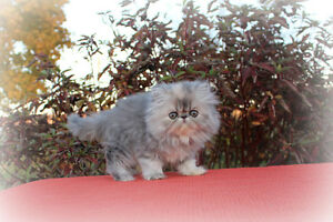 AdOrAbLe Persian Kittens (Reg/Vetted/Vaccinated/Microchipped)