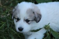 PUREBRED GREAT PYRENEES PUPPIES!