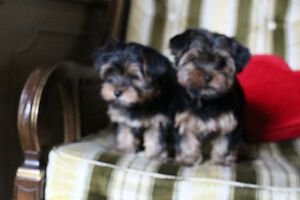 Champion Sired CKC reg  Yorkshire Terriers Kitchener / Waterloo Kitchener Area image 4