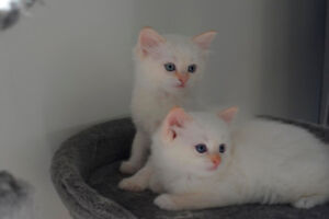 Valentines Day Ragdoll Kiittens available for reservation