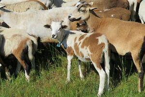 Registered Painted Desert Sheep lambs