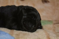 CKC reg Black Lab Puppies