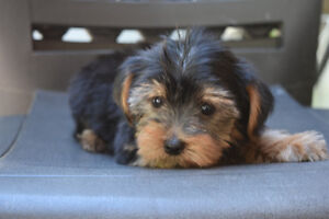 "Yorkshire Terrier or Yorkie  Male  ""Sonny"" - Puppy or Teddy Bear"