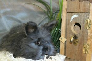 Purebred English Angora male, smoke, looking for his forever home Royalla Queanbeyan Area Preview