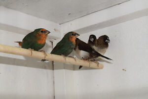 Young finches for sale