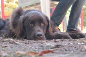 companion wanted for gentle newfouldand retreiver