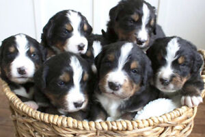 Purebred Bernese Mountain Dog Puppies