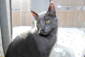 7 Month Old Russian Blue Kitten For Sale