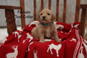 Goldendoodle Puppies for Sale! Ready to Go!