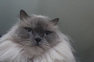 Female Himalayan Persian cat - declawed -  sorry, she's SOLD