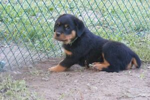 Rottweiler Love - Puppies are ready to go