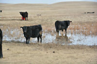 Black Angus Replacement Heifers