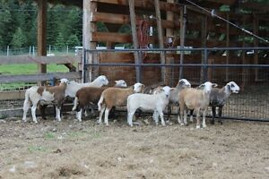 Katahdin Hair Sheep Ram & Ewe Lambs - rams & ewes