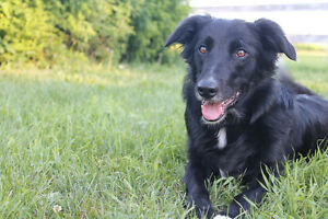 Border Collie Shepherd cross