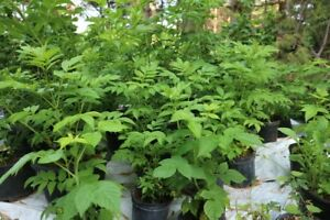 Black Currant, Raspberry, Elderberry, Hop Plants for Sale
