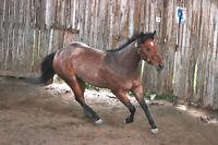 Poulain Quarter Horse enr. 3 ans, reining