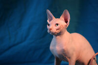 Two Registered Sphynx Kittens    not quite perfect but unique