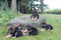 German Shepherd puppies -  excellent bloodlines, family raised