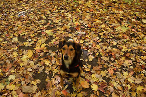 Willow- Lost Female Dog - Blk&Tan Collie/Beagle/Chihuahua Mix