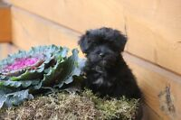 Sweet and Adorable Morkie puppies