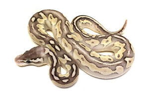 Peter Williams Reptiles Ball Python Availability