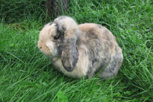 Pedigreed Holland Lop Buck!! Gorgeous & Friendly!!
