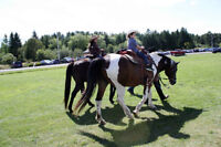 16 HH, BAY PAINT GELDING FOR SALE TO GOOD HOME ONLY