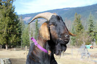 Non Registered Nubian Billy Goat