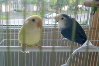 Love Birds 4 Sale